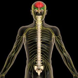 Sinir sistemi nedir kaça ayrılır