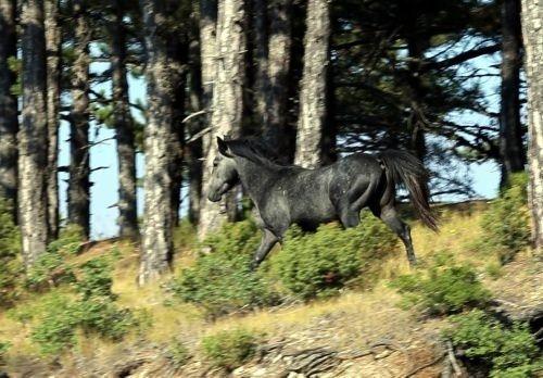 Osmanlı atları efsane değilmiş