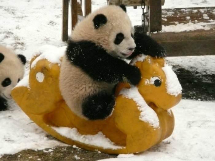 Pandaların birbirinden sevimli halleri