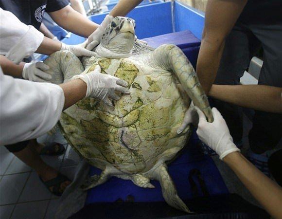 Kaplumbağanın midesinden çıkanlar şoke etti