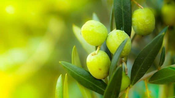 Zeytin yaprağının hangi hastalıklara iyi geldiğini biliyor musunuz?