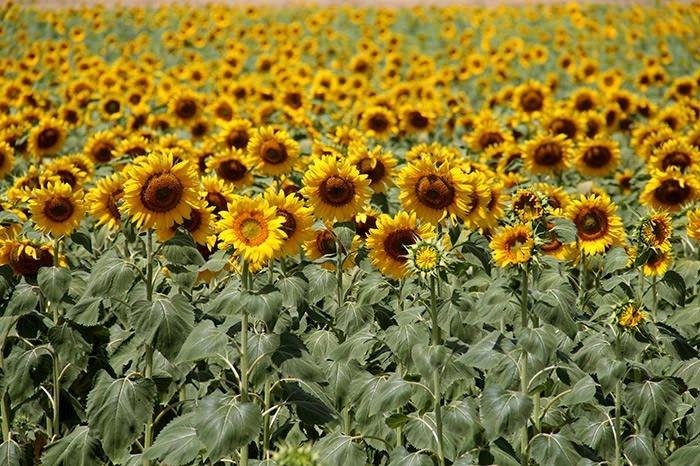 'Doğanın sarı gelini' yağmur bekliyor