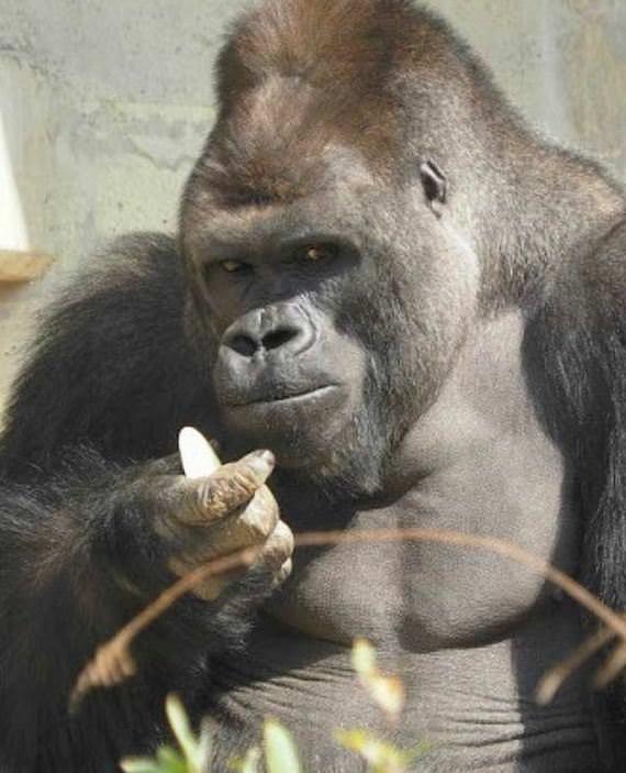 Yakışıklı goril kadınları hayran bıraktı!