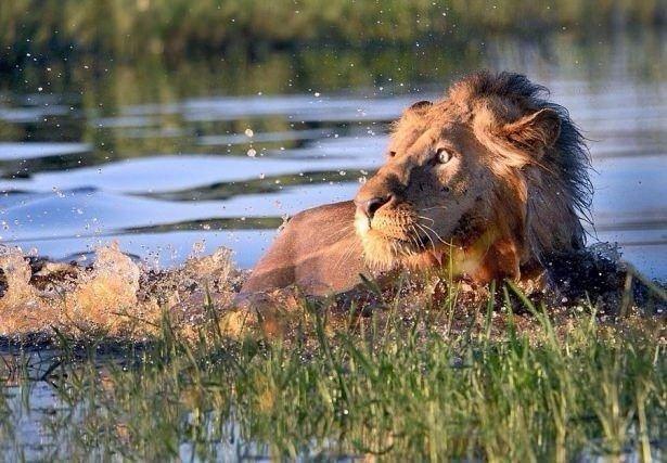 Aslan kralı korkutan hareket