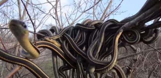Vahşi yılanların gücü dehşete düşürdü