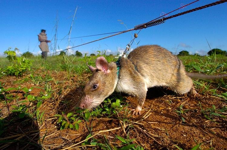 Binlerce insanın hayatı bu dev sıçanlara bağlı