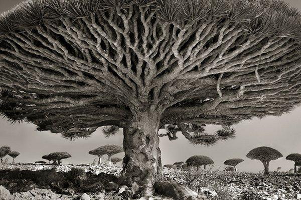Dünyanın en büyük ve en yaşlı ağaçları