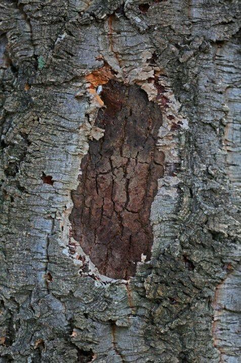 Padişaha hediye edilen o ağacın sırrı