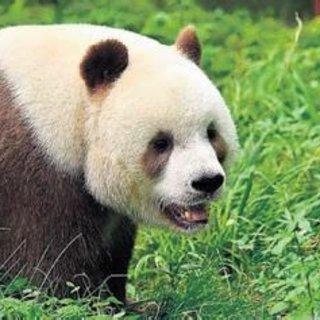 En mutsuz panda hayatla barıştı