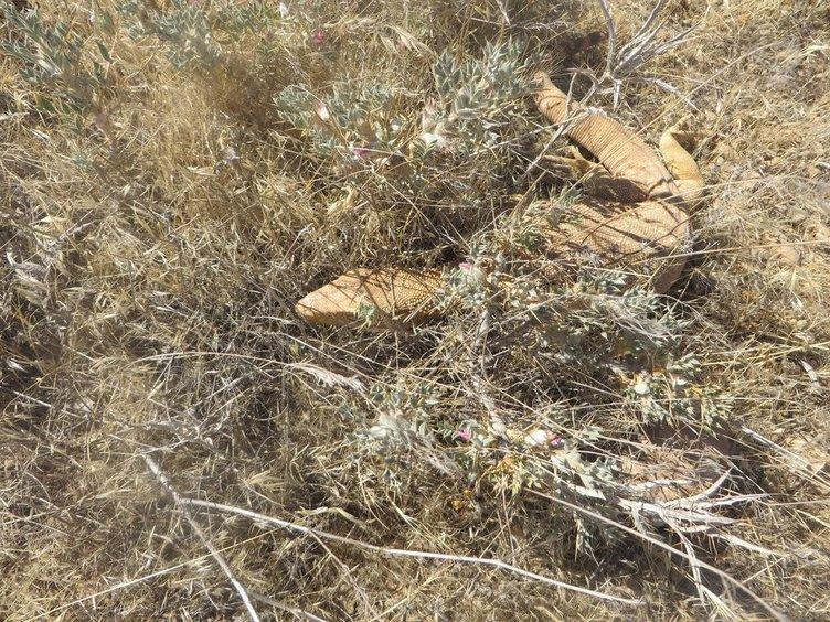 Nesli tükenmek üzere olan çöl varanını öldürdüler