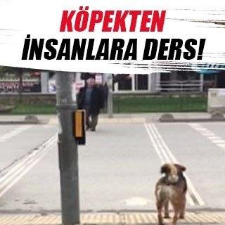 Köpekten insanlığa trafik dersi