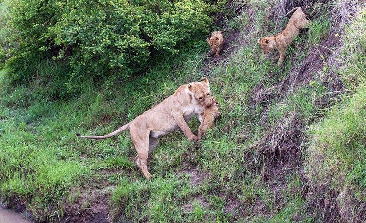 Yavru aslanlara hayat dersi