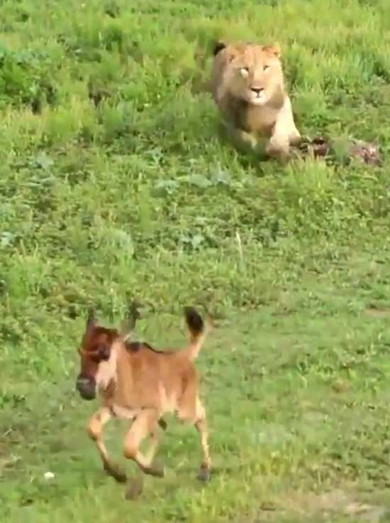 Vahşi doğada inanılmaz görüntü!