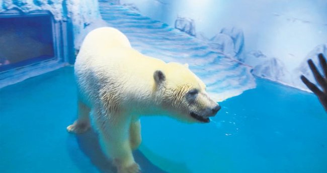 'En üzgün kutup ayısı' doğduğu su parkında