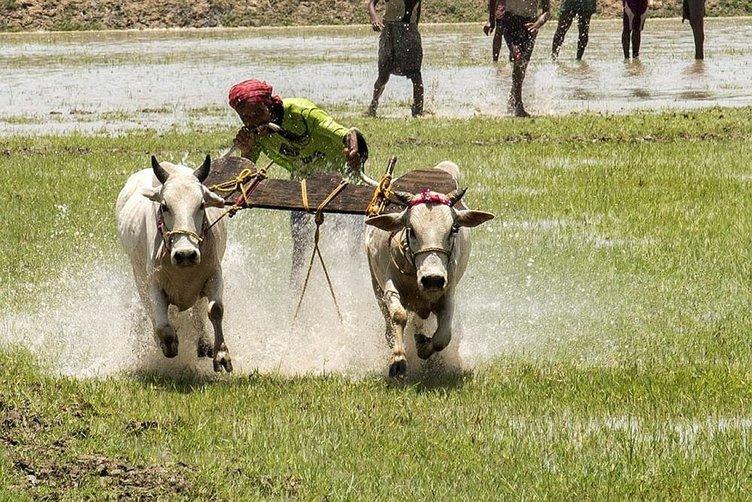 Hindistan'da büyükbaş hayvan yarışları!