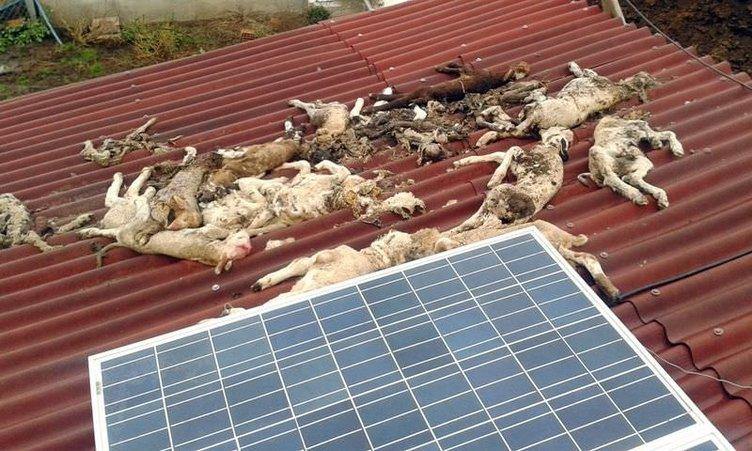 Edirne'de hayvan ölümleri tedirgin ediyor