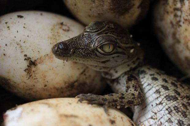 Yavru timsahlar yumurtadan çıktı