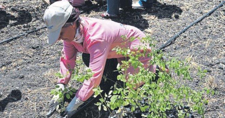 Mucize bitki Moringa