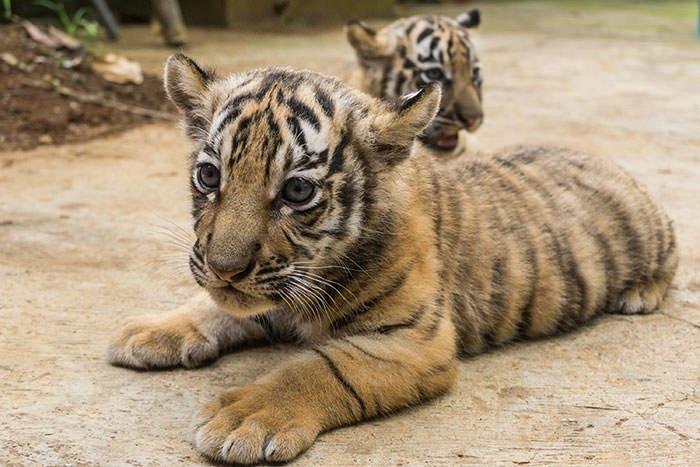 İki Bengal Kaplanı dünyaya geldi