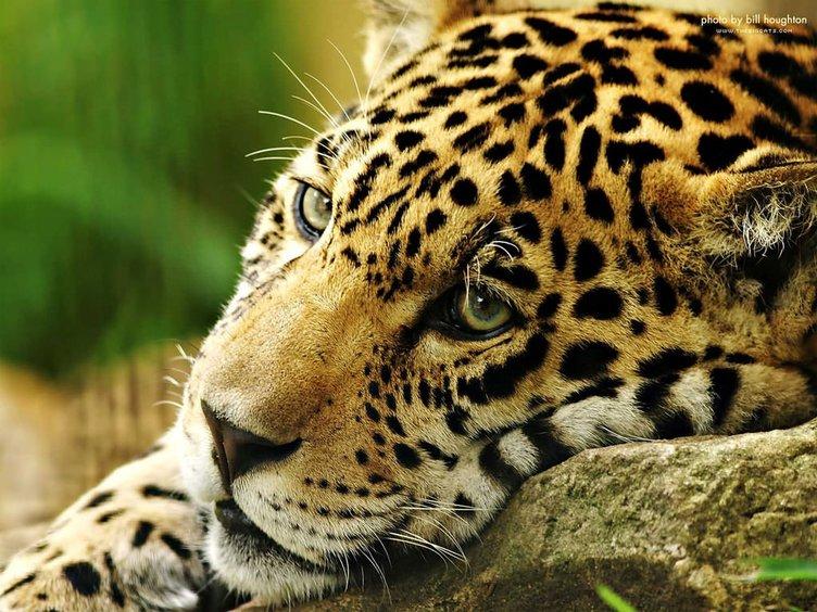 Jaguar nasıl bir hayvandır?