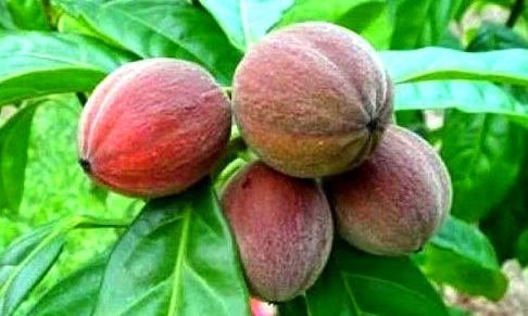 Blushwood meyvesi kanserin kökünü kazıyor