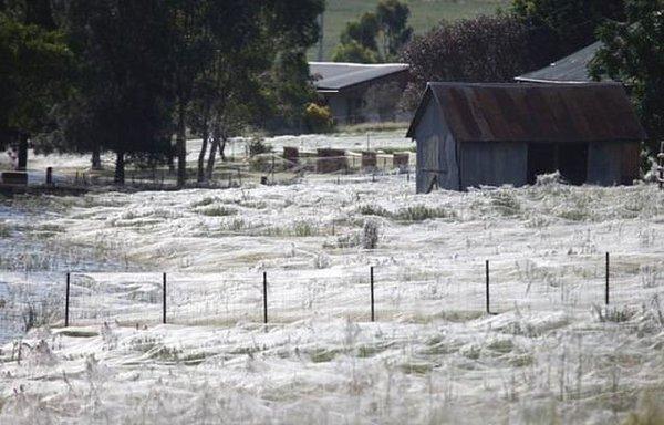 Gökten milyonlarca örümcek yağdı!