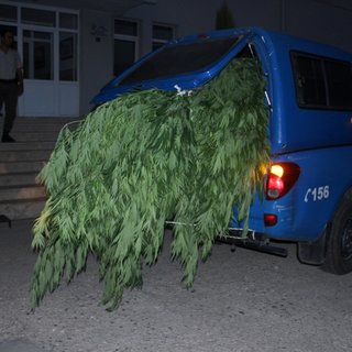 İzmir'de 10 bin kök hint keneviri ele geçirildi