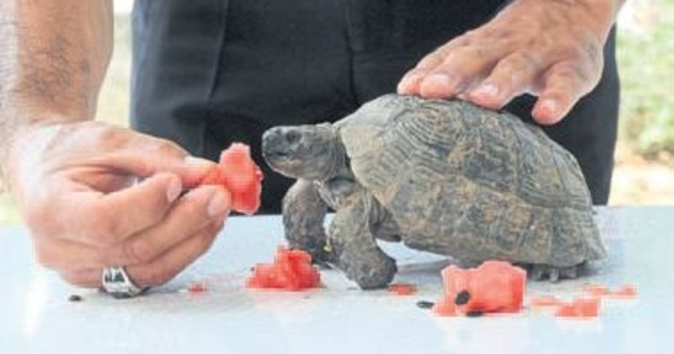 Yaralı kaplumbağaya özenle bakıyorlar