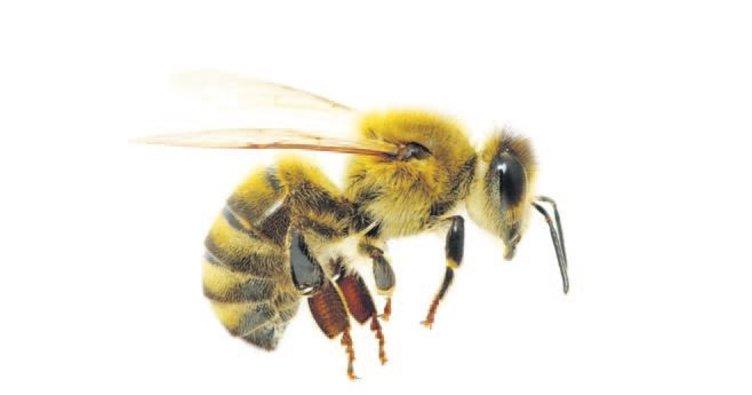 Arıcıyı arılar öldürdü