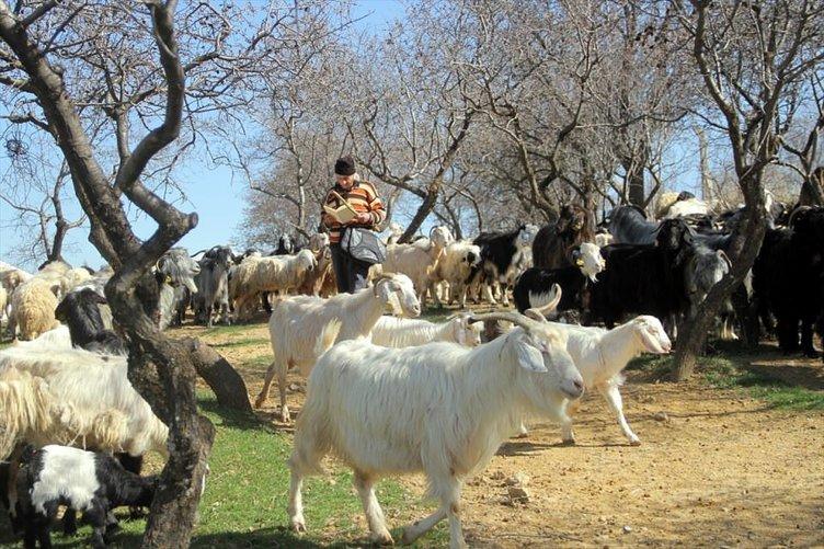 63 yaşındaki 'üniversiteli çoban'ın azmi