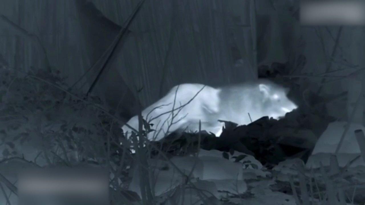 Aç leopar geceleri bakın nasıl avlanıyor?