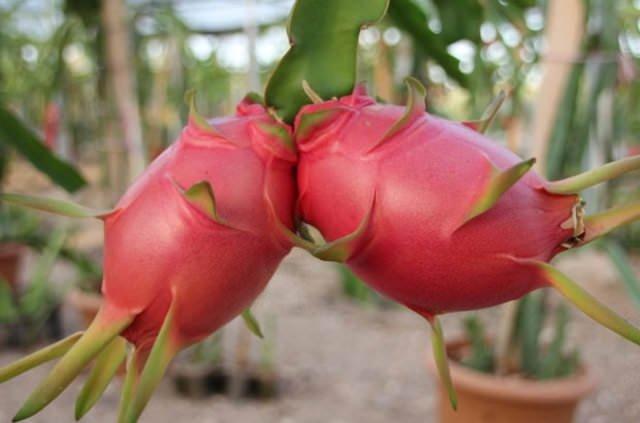 Dünya bu meyvenin peşinde!