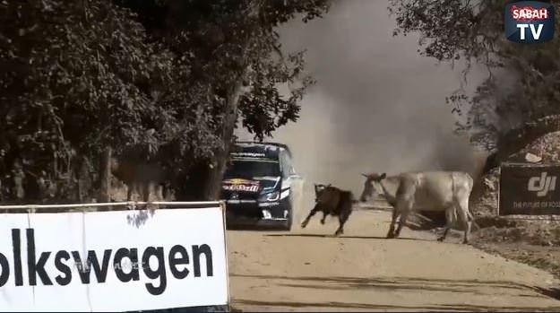 Dünya Ralli Şampiyonası'nda inek şoku!