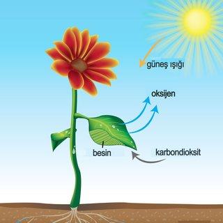 Fotosentez nedir nasıl meydana gelir?