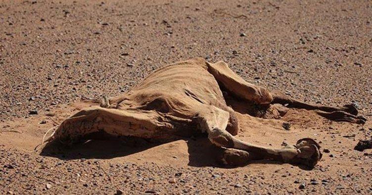 Katar develeri susuzluktan ve yorgunluktan telef oldu