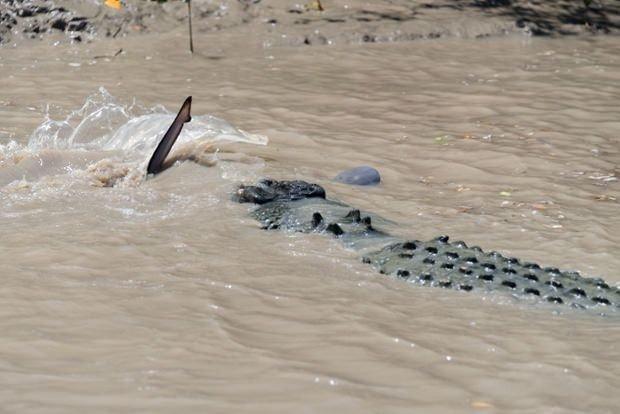 Dev timsahla köpekbalığı karşı karşıya