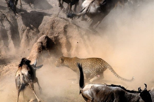 Leoparın inanılmaz av taktiği!