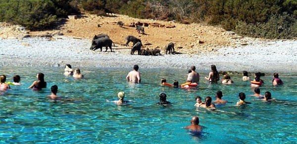 Adadaki domuzlara tatilci yemeği
