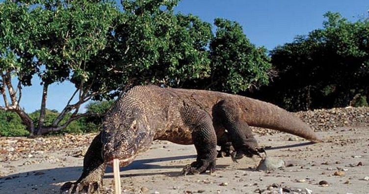 Komodo ejderi turiste saldırdı