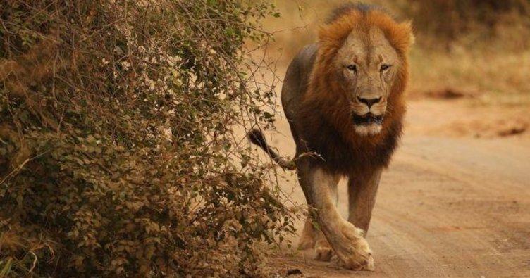Ulusal parktan dört aslan kaçtı