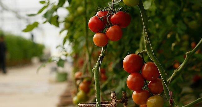 Rusya'nın almadığı domatesler Belarus'a kısmet oldu