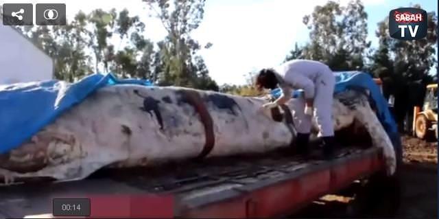 Dünyanın en büyük ikinci balinası İskenderun'da karaya vurdu