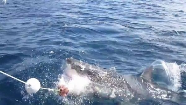 Köpekbalığına yem oluyordu