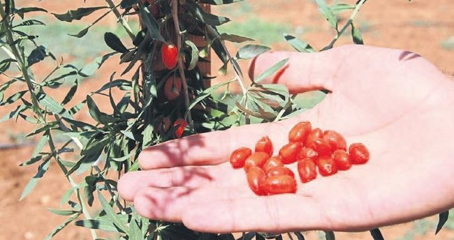 Kahramanmaraş'ta goji berry üretildi