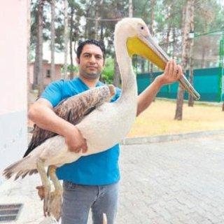 Pelikan için 500 km katettiler