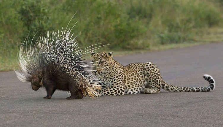 Leoparın zor anları