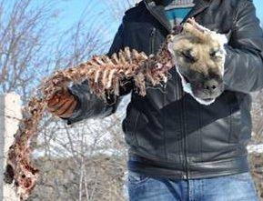 Aç kurtlar Kangal'ı yedi