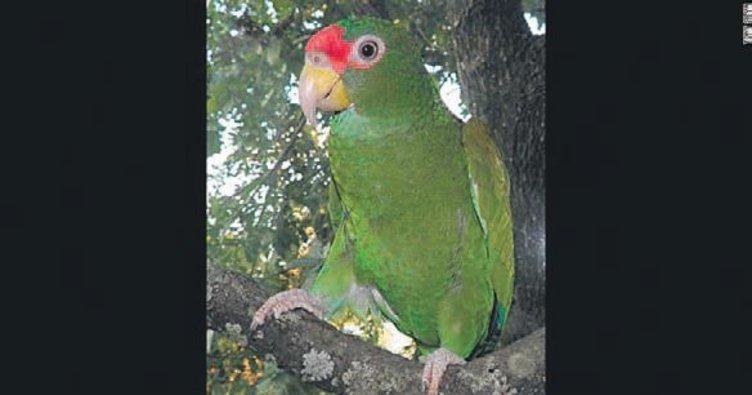 Yeni bir papağan türü bulundu