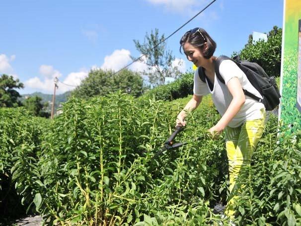 Doğu Karadeniz'in yeni tarım ürünü: Rize Şekeri