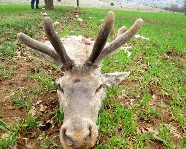 Kızıl geyikleri öldürüp etlerini aldılar